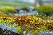 Fresh Grass Grows From Moss. Fluffy Moss On The Stone. Spring Mood In The Forest. Red Sprouts Rise F poster