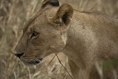 Close Up Of Lioness Head. Lioness Facing Left With Whiskers Clearly Visible And Blureed Cream Backgr poster