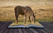 picture of hackney  - Mare and foal of New Forest pony grazing in landscape lit by warm sunrise - JPG