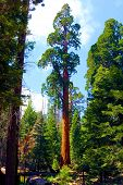 Sequoia Trees At An Evergreen Forest Taken In The Sierra Nevada Mountains, Ca poster