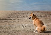 Young Pedigree Dog Resting On The Beach. Red Shiba Inu Dog Sitting Near The River. Front View poster