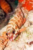 picture of hawkfish  - The hawkfish on the coral - JPG
