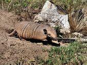 image of armadillo  - Armadillo leaving its burrow in the Pantanal - JPG