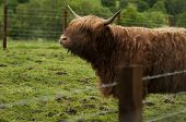 stock photo of cattle breeding  - Highland cattle are a Scottish breed of cattle with long horns and long wavy coats - JPG