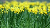 pic of jonquils  - Details of a group of spring flowers the jonquil or rush daffodil - JPG
