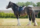 picture of shire horse  - shire horse under saddle on medow - JPG