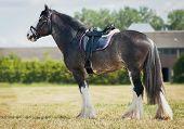 foto of saddle-horse  - shire horse under saddle on medow - JPG