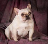 image of standard poodle  - standard poodle puppy sitting - JPG