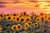 sunflower field and orange sunset