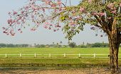 picture of lapacho  - Pink Trumpet Blossom In Front Of Green Field - JPG