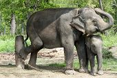 Asian Elephants Of Nepal