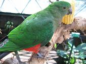 picture of king parrot  - At the Cairns Rainforest Dome - JPG