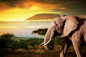 foto of tusks  - Elephant on savanna landscape background and Mount Kilimanjaro at sunset - JPG
