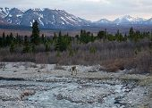 picture of caribou  - A lone caribou feeds by a river in Alaska - JPG
