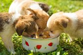 foto of puppy dog face  - Three puppies eating out of white dog bowl - JPG