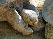 picture of tortoise  - Huge Galapagos Tortoise Largest Living Species of Tortoise - JPG