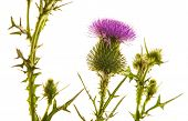 picture of cardo  - Milk thistle flower isolated on white - JPG