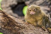 picture of marmosets  - An Adorable  Pygmy Marmoset climbing a tree - JPG