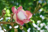 image of cannon-ball  - Beautiful round white magenta color flower of Cannon Ball Tree - JPG