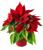 pic of poinsettia  - Red and green poinsettia plant for Christmas isolated on white background - JPG