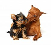 stock photo of miniature pinscher  - Red Miniature Pinscher takes care of the Yorkshire terrier puppy - JPG
