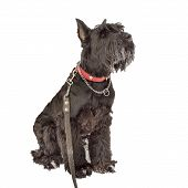 stock photo of schnauzer  - giant schnauzer dog sitting in a snow isolated on white background - JPG