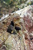 pic of ica  - Islas Ballestas, Peru sea lion  - JPG