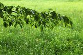 stock photo of linden-tree  - Linden tree over green grass - JPG