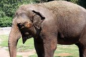 pic of zoo  - Indian elephant in the zoo - JPG
