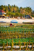 picture of algae  - Algae farm field in Nusa Lembongan Indonesia - JPG