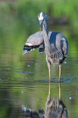 image of bluegill  - Great Blue Heron fishing in the low lake waters - JPG