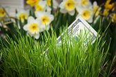 pic of narcissi  - Dollar banknote growing in green grass - JPG