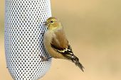 foto of goldfinches  - American Goldfinch  - JPG