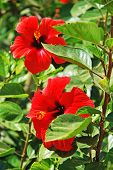 stock photo of hibiscus  - Red hibiscus flower in close - JPG