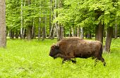 picture of aurochs  - This picture shows a large bull in nature - JPG