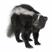 picture of skunk  - 3D digital render of a skunk isolated on white background - JPG