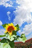 image of buttercup  - Gorgeous huge sunflower on the field of buttercups garden - JPG