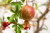 picture of pomegranate  - Branch with ripe pomegranate and pomegranate blossoms - JPG