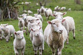 pic of baby sheep  - Lambs and sheep green grass new zealand - JPG