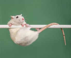 stock photo of rats  - white domestic rat hanging on the bar - JPG