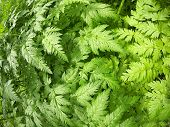 stock photo of gout  - The leaves of the plant Aegopodium Podagraria closeup - JPG