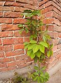 pic of creeping  - Creeping wild vines on the wall of a brick building shot with a wide angle and distortion closeup - JPG