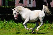 foto of lipizzaner  - Running Lipizzaner horse on the horse farm - JPG