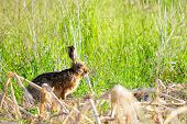 picture of wild-rabbit  - Wild rabbit on the meadow at spring mornng