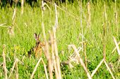 pic of wild-rabbit  - Wild rabbit in nature hiding in the grass - JPG