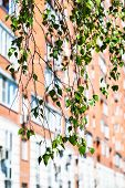 foto of birching  - branch of green birch tree and urban house on background in spring - JPG
