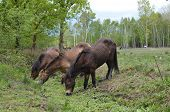 stock photo of common  - Wild ponies drink from  a stream on Chailey common in Sussex - JPG