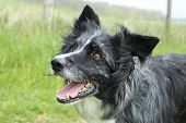picture of collie  - Blue merle collie keeping still for a close up - JPG