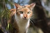 picture of dapple-grey  - Portrait of a Tri colored house cat - JPG