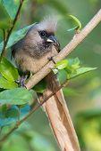 stock photo of peeking  - Speckled mousebird  - JPG